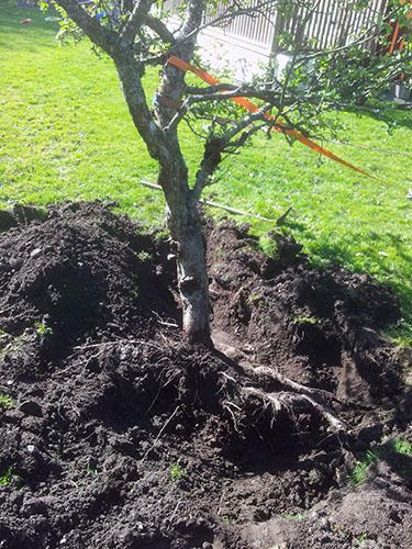 Gräv upp runt rötterna