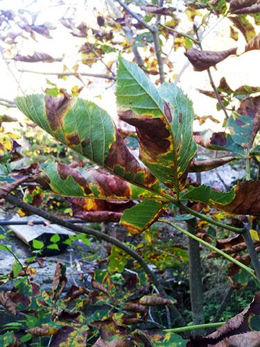 Bruna blad på kastanj