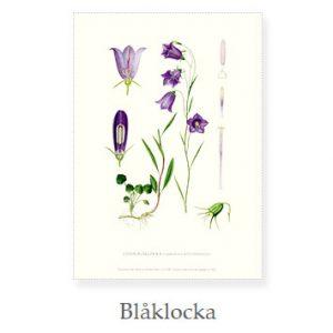 Florablad A4 Blåklocka