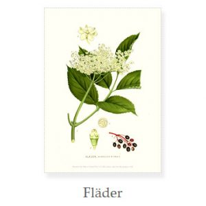 Florablad A4 Fläder