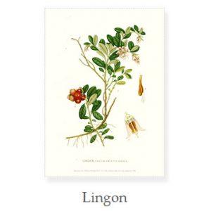 Florablad A4 Lingon
