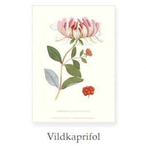 Florablad A4 Vildkaprifol